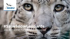 savesnowleopards 200 000 voices for the mysterious cat youtube