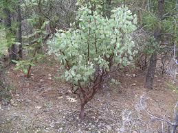 manzanita tree manzanita trees 19