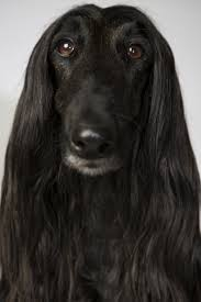 afghan hound teeth scratch dog or not u2013 are afghan hounds hypoallergenic