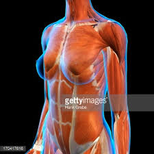 Female Muscles Anatomy Rear View Of Female Neck And Shoulder Muscles Anatomy In Blue Xray