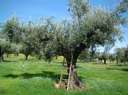 adopt an authentic italian olive tree as the gift for the