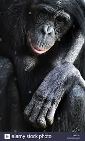 siege social bonobo 1900 27 stock photos 1900 27 stock images alamy