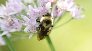 field guide to the native plants of sydney recovery bringing back bumble bees u2013 cool green science