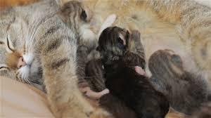 happy mother cat is feeding her kittens three blind newborn