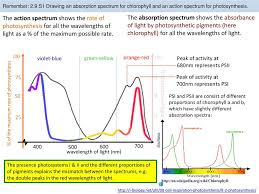 the absorption of light by photosynthetic pigments worksheet answers essential idea light energy is converted into chemical energy