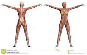 Female Anatomy Image Human Muscle Anatomy Female Human Anatomy Female Muscles Stock