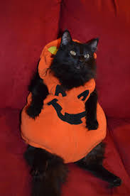 fat suit halloween i present to you my enormous fat cat in a pumpkin costume if