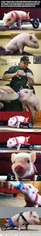 14 best dippity pig syndrome images on pinterest pigs mini pigs