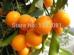 seed pillow picture more detailed picture about 50 kumquat