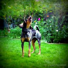 bluetick coonhound song the 410 best images about coon dawgs on pinterest