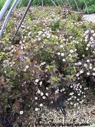 shrubs plant groups wilson nurseries