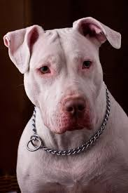 american pitbull terrier jumping american pit bull terrier simple english wikipedia the free