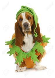 halloween background for pets dog dressed up for halloween basset hound wearing pumpkin