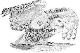 snowy owl bubo scandiacus line art and full color illustrations