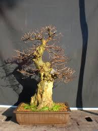 kifu fat acer buergerianum in winter 00 bonsai pinterest