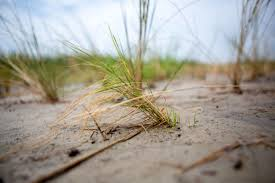 chesapeake native plants the ambitious plan to save chesapeake bay u0027s shrinking saltmarshes