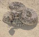Western Rattlesnake | Sensational Serpents sensationalserpents.com