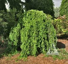 102 best weeping trees images on weeping trees plant