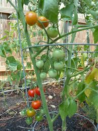 sweet 100 u0027 cherry tomatoes vegetable plants pinterest cherry