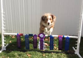 3 winds ranch australian shepherd 4paws miniature aussies