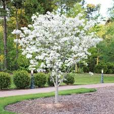 22 best patio trees images on patio trees landscaping
