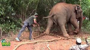capturing of an aggressive elephant youtube