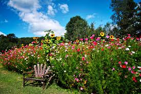 flowers in garden images pictures nature flowers gardens sunflowers cosmos plant bench