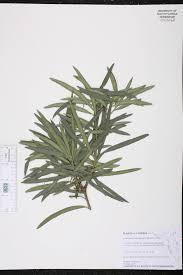 berri native plants podocarpus macrophyllus species page isb atlas of florida plants