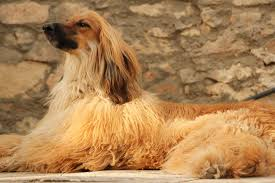 afghan hound therapy dog afghan hound all big dog breeds
