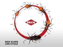 box elder bugs cycle box elder bug span