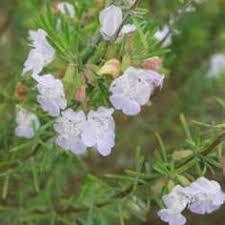 shinners square flower paronychia erecta inflorescence