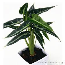buddha s ear plant alocacia cuculata indoor plants foliage plant