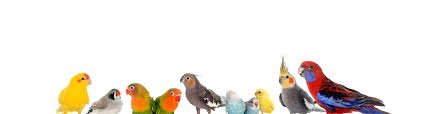 ornamental birds ankh uk pet supplies