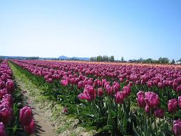 Tulip Field File Tulip Field Purple Jpeg Wikimedia Commons