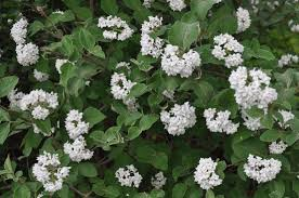 The Most Fragrant Plants - korean spice viburnum perhaps the most fragrant of shrubs is the