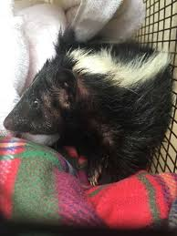 Seeking Dumpster San Antonio Acs Frees Skunk Seeking Food From Dumpster San