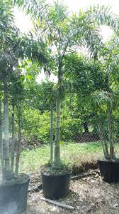 hedging plants budget wholesale nursery redlands wholesale coconut palms 27gw maypans malayan coconut