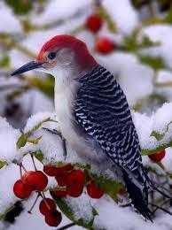 birds images 50 best michigan birds images beautiful birds jpg