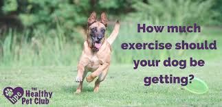 belgian shepherd exercise requirements how much exercise should your dog be getting the healthy pet club
