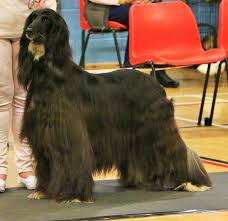 serena parker afghan hound judge 2016 sharhazlah show dogs