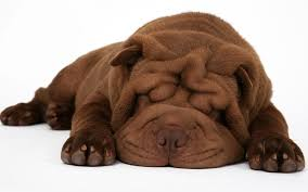 the chinese shar pei 10 cool facts activphy