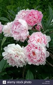 family garden chinese chinese peony common or garden peony herbaceous or white peony