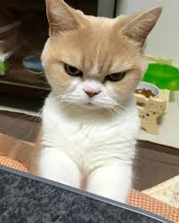 21 Of The Best Grumpy - you like grumpy cat you are going to love koyuki the angriest cat