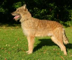 belgian shepherd health problems belgian shepherd laekenois dog puppy dog gallery