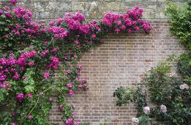 Climbing Plants For North Facing Walls - planting on walls david domoney