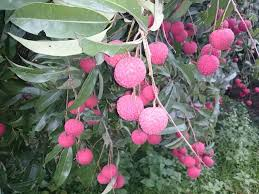 fruit similar to lychee maui fruit chart child head