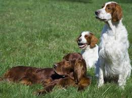 types of setter dog breeds irish setters what s good about em what s bad about em