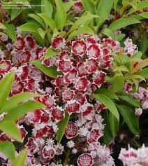 kalmia latifolia plantfiles pictures mountain laurel u0027bullseye u0027 kalmia latifolia