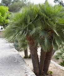 mediterranean fan palm tree fan palm tree european fan palm for sale fast growing trees