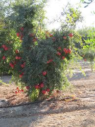 Pom Pom Trees How Pomegranates Grow Pom Wonderful Harvest Tour